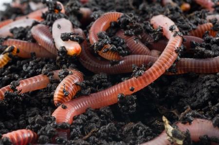 regenworm: Aarde wormen in de aarde
