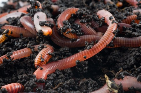 earthworm: Earth worms in the earth