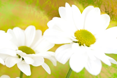Beautiful flowers of a camomile. Stock Photo - 4500196