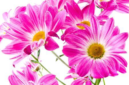 Beautiful flowers of lilac chrysanthemums photo