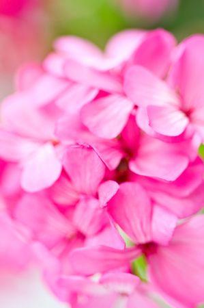 petites fleurs: Fleurs petites roses  Banque d'images