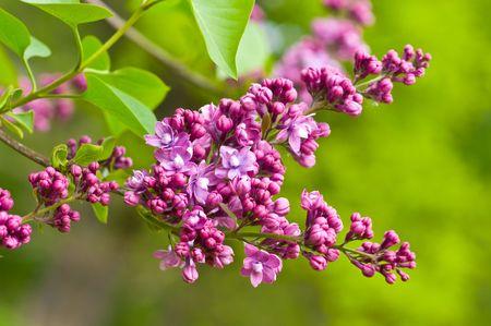 lilac flower background - shallow dof photo