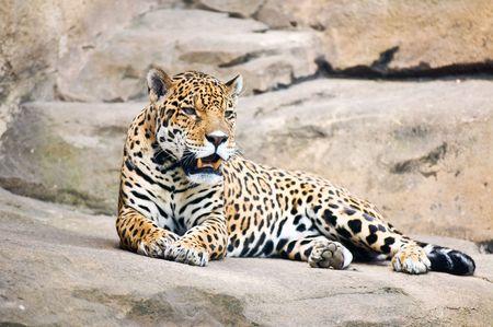 panthera: bellissimo corpo di giovani leopardo Archivio Fotografico
