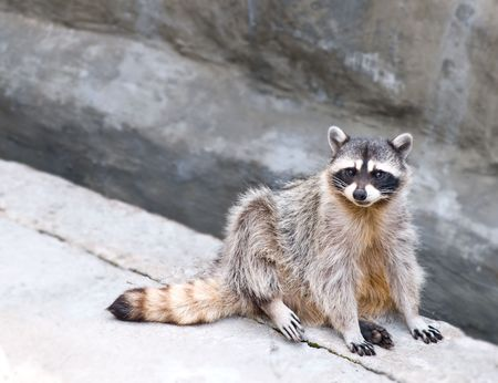 coons: cute raccoon  Stock Photo