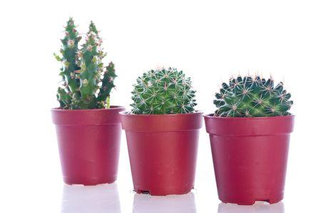 Cactus en una olla. El aislamiento en el blanco Foto de archivo - 5004026