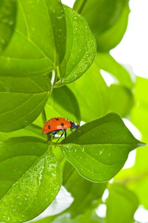 ladybird on green leaf and drop photo