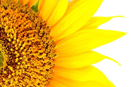 beautiful yellow Sunflower petals closeup  photo