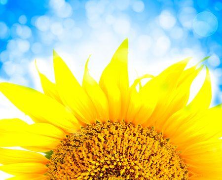 bee on white flower: beautiful yellow Sunflower petals closeup