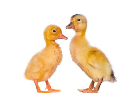 yellow ducklings on a white background