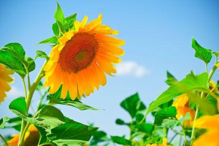 beautiful sunflowers with blue sky Stock Photo - 5351805
