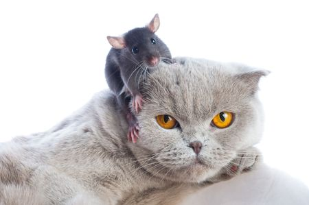 tom: cat and mouse together isolated on a white background Stock Photo