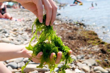 Close-up shot of edible seaweed  Stock Photo - 5457336