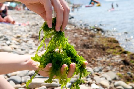 aquatic products: Close-up shot of edible seaweed