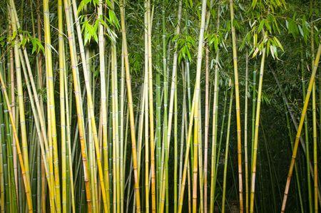 serenety: landscape of bamboo stalks  Stock Photo