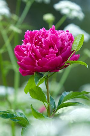Red peony flowers photo
