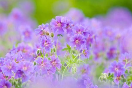 cornflowers: Field of cornflowers