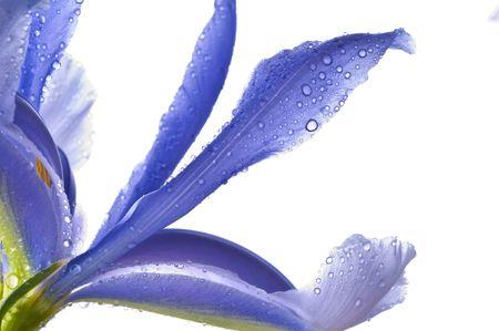 iris fiore: Iris blu fiore isolato su sfondo bianco