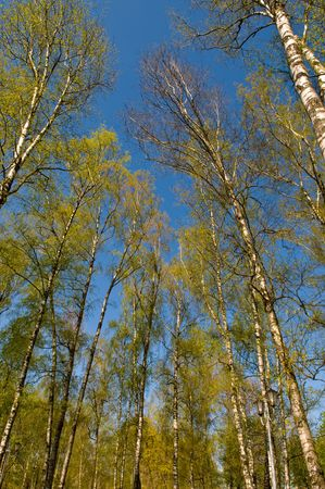 hardwoods: Circle of spring birches crowns against blue sky  Stock Photo