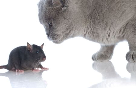 cat and mouse together isolated on a white background  photo