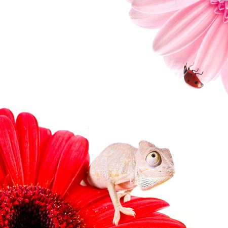 Chameleon on flower. Isolation on white    photo