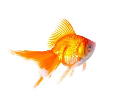 goldfish on a white background Stock Photo - 5818470