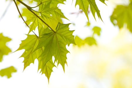 maple trees: autumn leaves, very shallow focus