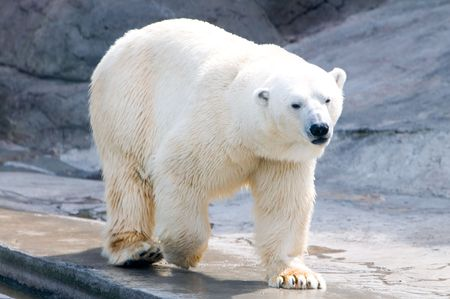 wet bear: Polar bear   Stock Photo