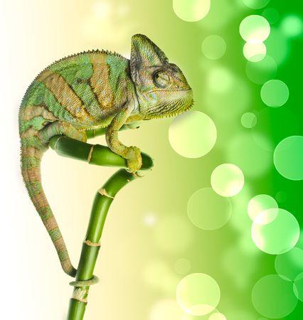 emotive: chameleon on a bamboo. isolation on white Stock Photo