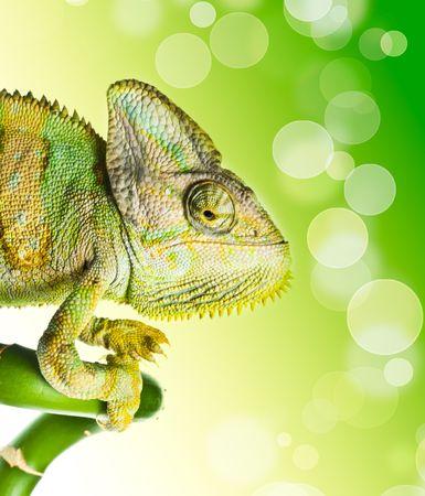 madagascar: chameleon on a bamboo. isolation on white Stock Photo