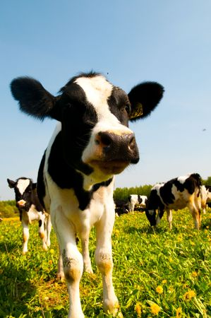 cow in a pasture with cloudy blue sky photo