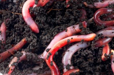 wigglers: Earthworms