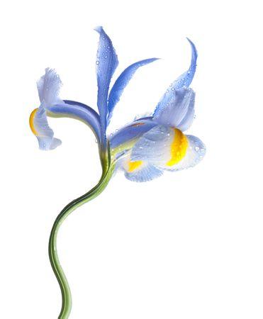 lila: lila iris flower with dew