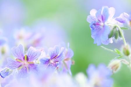 early summer flowering geranium by the name of gravetye photo