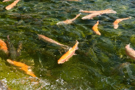 Fish in water. fresh trout Stock Photo - 7136351