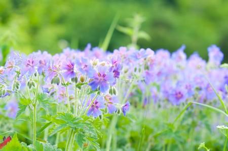 early summer flowering geranium macro photo