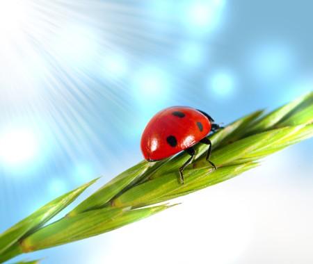 Ladybird on  blade against the sky photo