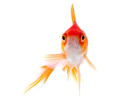 Gold fish. Isolation on the white Stock Photo - 7610592