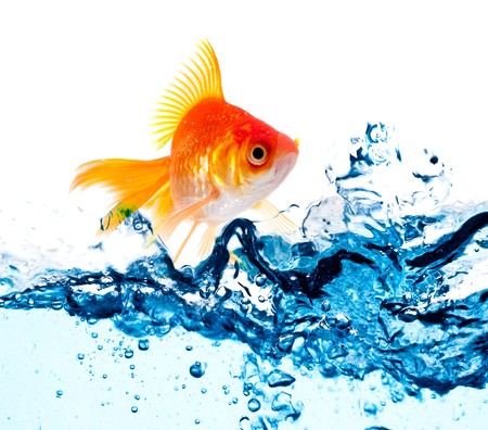 gold fish jumping over slash blue water Stock Photo - 7709724