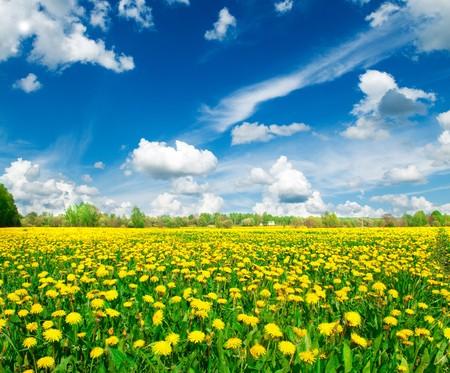 Wei land met gele paardenbloemen.  Stockfoto