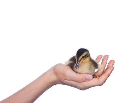 yellow duck in  woman hand photo
