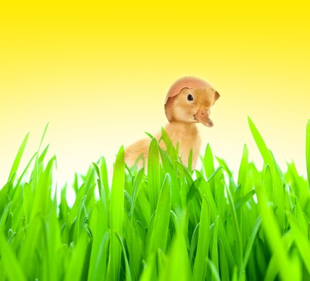 Small duckling in green grass photo
