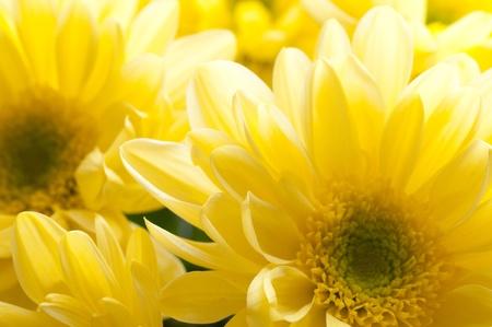 Beautiful spring flowers - chrysanthemum Stock Photo - 8303170