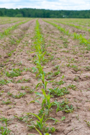 young corn plants in the field photo