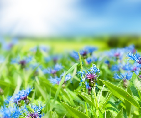 Glade of cornflowers and green grass. photo