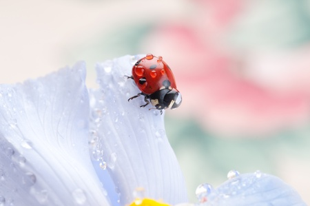 red ladybird on iris flower photo