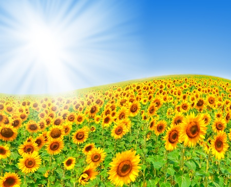 Beautiful field of sunflowers. summer landscape Stock Photo - 8865769