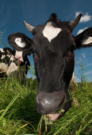 beast ranch: cow on field