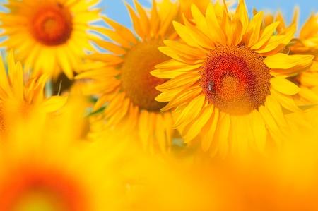 Beautiful field of sunflowers. summer landscape Stock Photo - 9058777