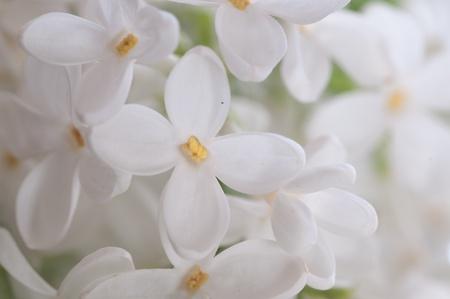 Close-up beautiful lilac flowers Stock Photo - 9058771