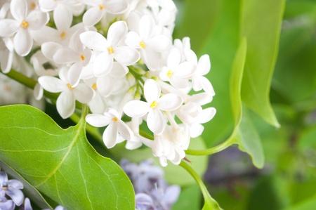 Close-up beautiful lilac flowers Stock Photo - 9058784